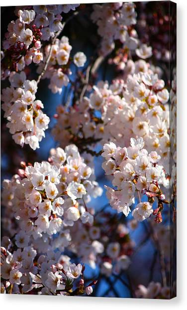 Cherry Blossoms And Blue Sky-2 Canvas Print