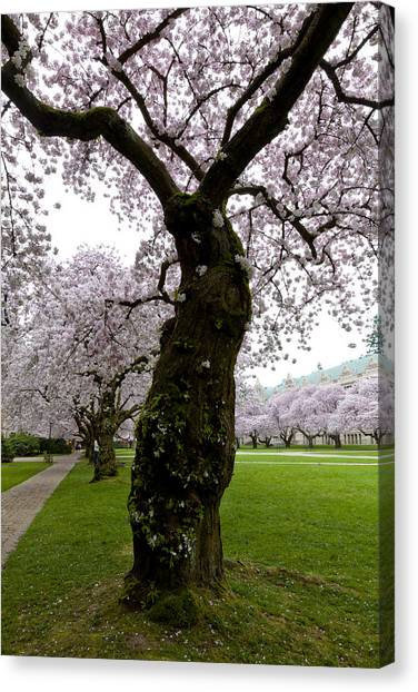 University Of Washington Canvas Print - Cherry Blossoms by Chandru Murugan
