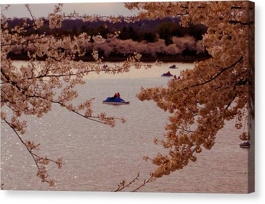 Cherry Blossoms  Canvas Print by DustyFootPhotography