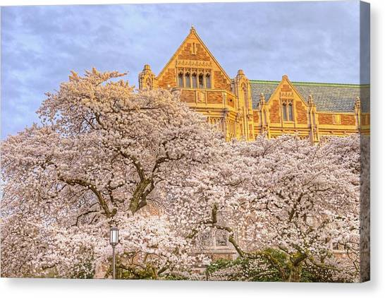 University Of Washington Canvas Print - Cherry Blossoms by Jeff Cook