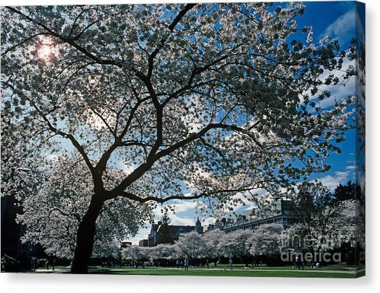University Of Washington Canvas Print - Cherry Blossoms by Jim Corwin