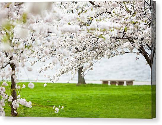 Cherry Blossoms On The Shore Of Fort Mchenry Canvas Print