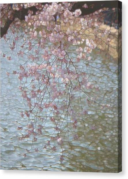 Cherry Blossoms P2 Canvas Print