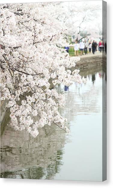Cherry Blossoms - Washington Dc - 0113104 Canvas Print by DC Photographer