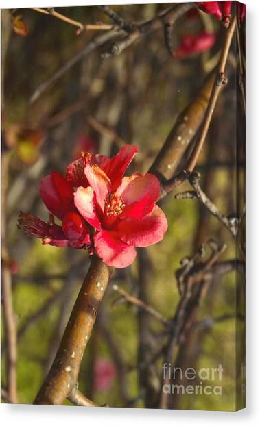 Cherry Blossoom Tree Canvas Print