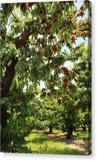Grocery Store Canvas Print - Cherry Orchard  by Carol Groenen