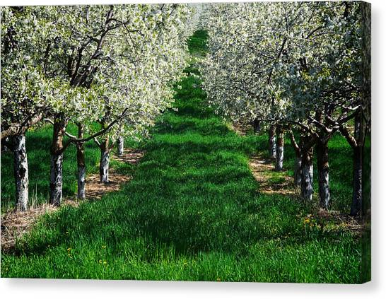 Cherry Orchard Morning Canvas Print