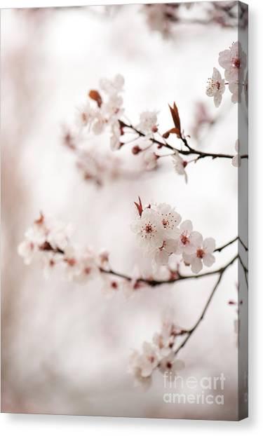 Cherry Plum Blossom Canvas Print by Anne Gilbert