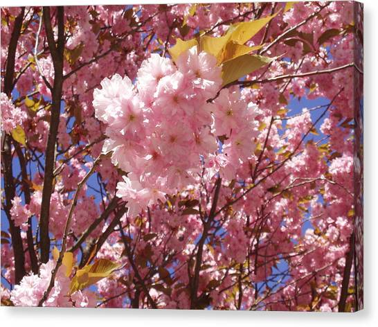 Cherry Trees Blossom Canvas Print