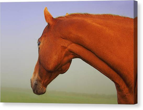 Chestnut Canvas Print
