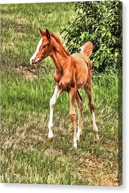 Chestnut Foal Canvas Print