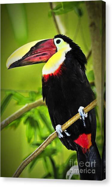 Toucans Canvas Print - Chestnut Mandibled Toucan by Elena Elisseeva