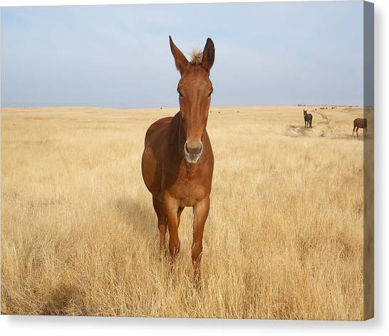 Chestnut Mule In Gold Canvas Print