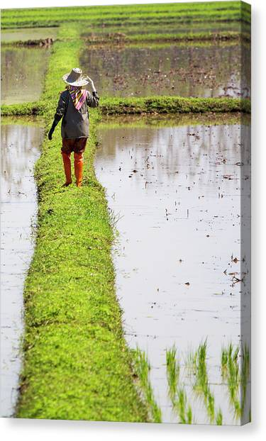 Chiangrai_farmer On A Rice Field Canvas Print