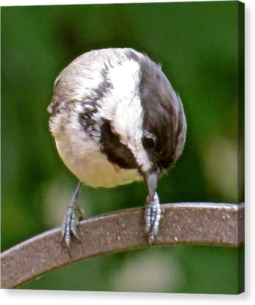 Chickadee 103 Canvas Print by Patsy Pratt