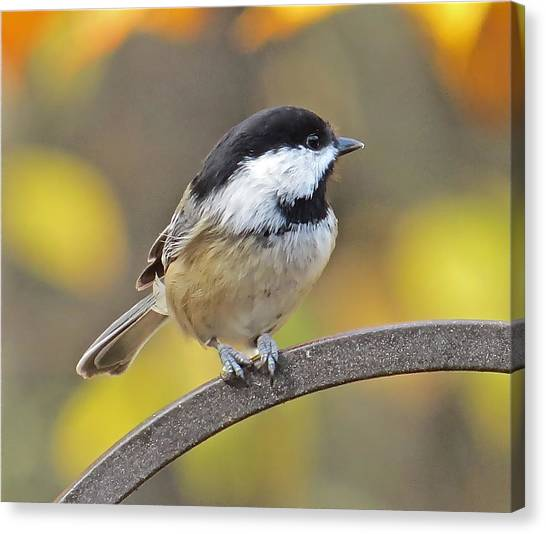 Chickadee 104 Canvas Print by Patsy Pratt