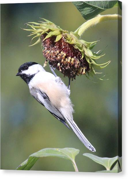 Chickadee On Sunflower Canvas Print