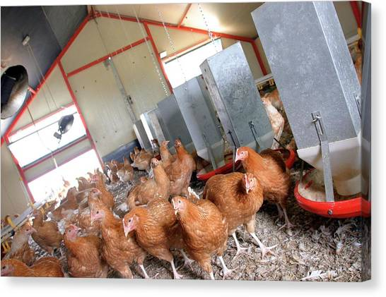 Chicken Farms Canvas Print - Chicken Farm by Claire Deprez/reporters/science Photo Library
