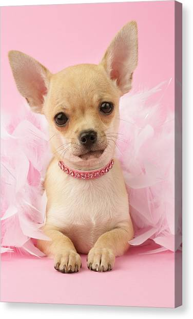 Chihuahuas Canvas Print - Chihuahua With Feather Boa by Greg Cuddiford