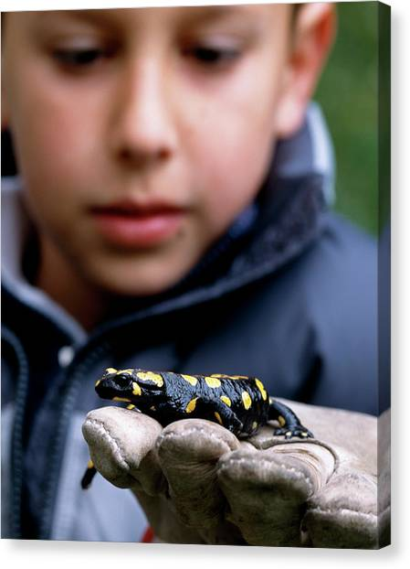 Salamanders Canvas Print - Child Holding Salamander by Mauro Fermariello/science Photo Library