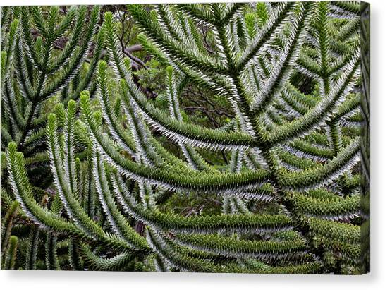 Chile South America Detail, Bark Canvas Print by Scott T. Smith