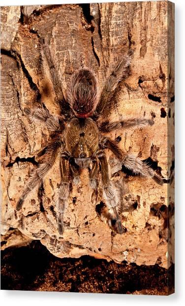 Chilean Canvas Print - Chilean Beautiful Tarantula, Euathlus by David Northcott
