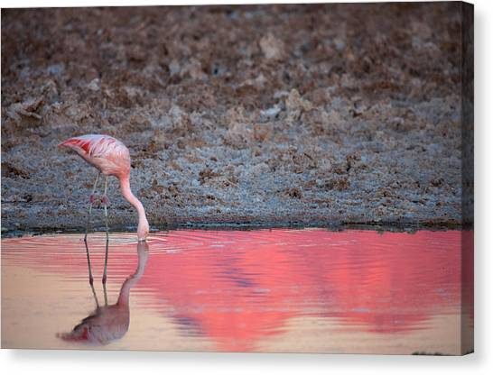 Atacama Desert Canvas Print - Chilean Flamingo Drinking by Mallorie Ostrowitz