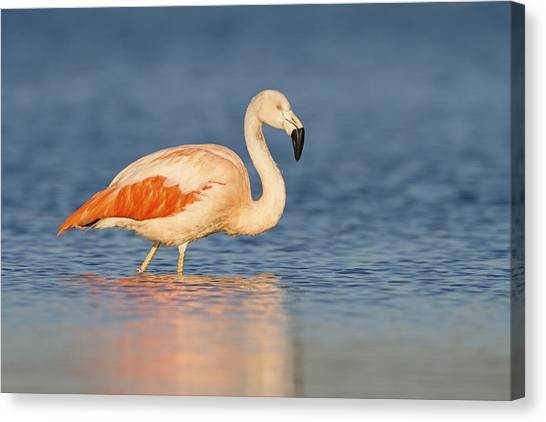 Chilean Canvas Print - Chilean Flamingo by Ronald Kamphius