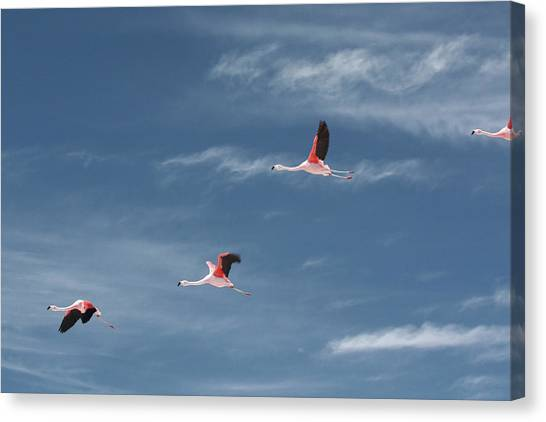 Chilean Canvas Print - Chilean Flamingos In Flight by Mallorie Ostrowitz