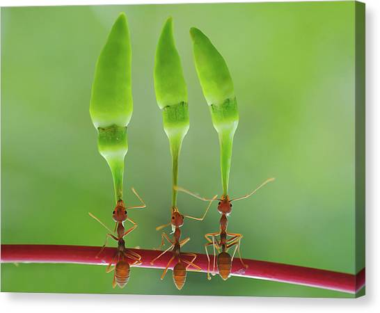 Bug Canvas Print - Chili Cilider Team by Yahya Taufikurrahman