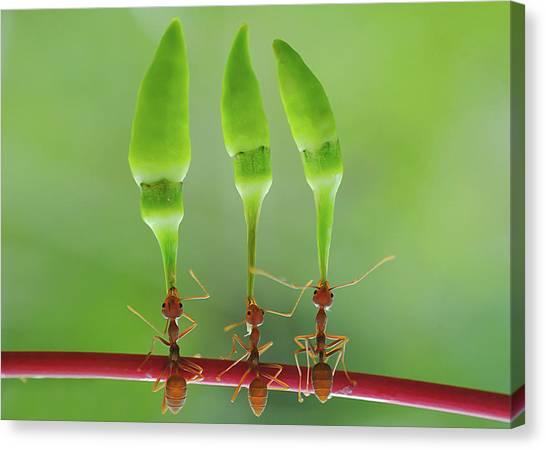Ants Canvas Print - Chili Cilider Team by Yahya Taufikurrahman