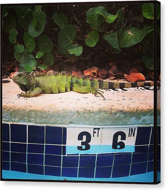 Iguanas Canvas Print - Chillin At The #pool With My Homie The by Megan Batrez