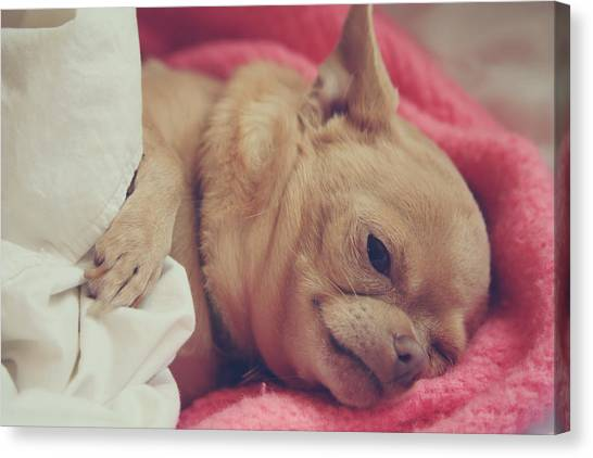 Chihuahuas Canvas Print - Chillin by Laurie Search