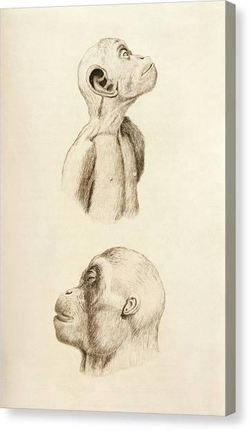 Orangutans Canvas Print - Chimpanzee And Orangutan by King's College London