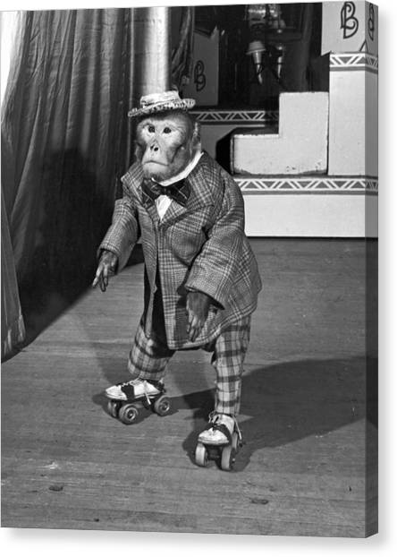 Roller Skating Canvas Print - Chimpanzee On Skates by Underwood Archives