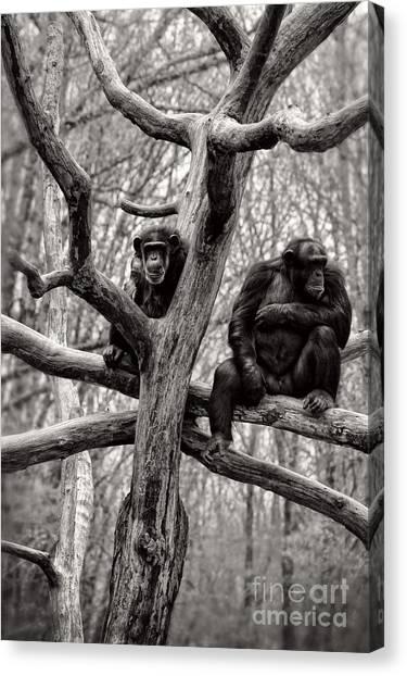 Chimpanzee Canvas Print - Chimpanzees by HD Connelly