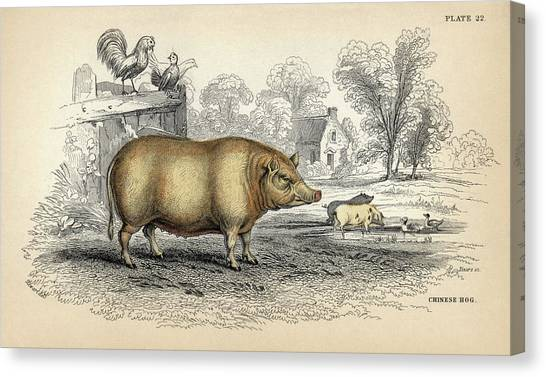 Pig Farms Canvas Print - Chinese Hog by Natural History Museum, London