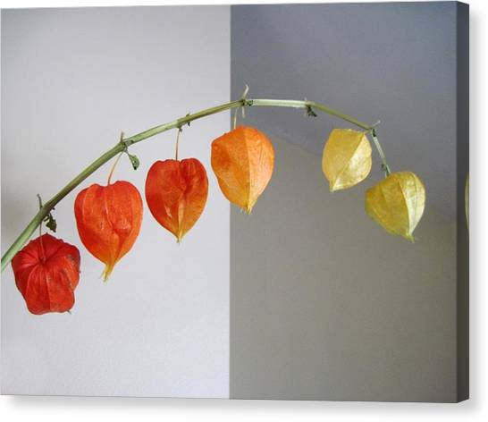 Chinese Lantern Stem Canvas Print by Patricia E Sundik