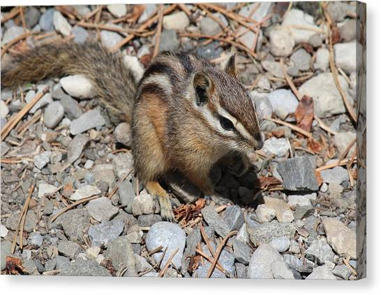 Canvas Print featuring the photograph Chipmunk by Ann E Robson