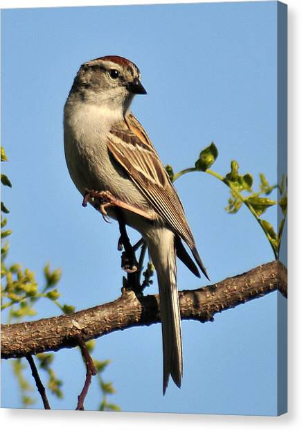 Chipping Sparrow 246 Canvas Print