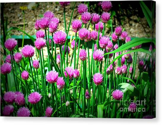 Chives Canvas Print by Christy Beal