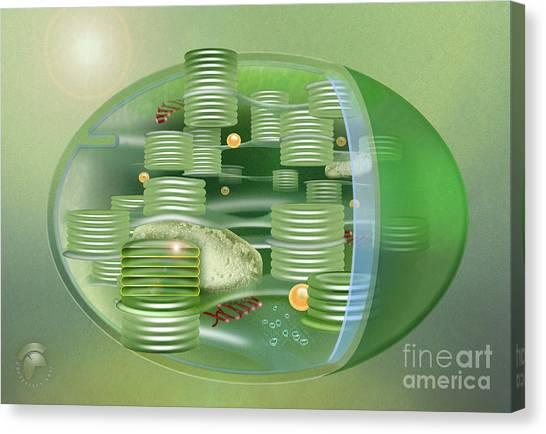 Chloroplast - Basis Of Life - Plant Cell Biology - Chloroplasts Anatomy - Chloroplasts Structure Canvas Print