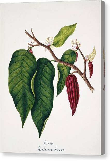 Chocolate Cocoa Plant Canvas Print by Natural History Museum, London/science Photo Library