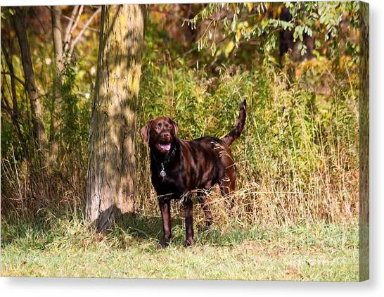 Chocolate Lab Cuteness Canvas Print