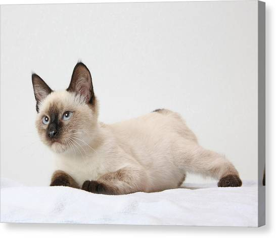 Chocolate Point Siamese Canvas Print