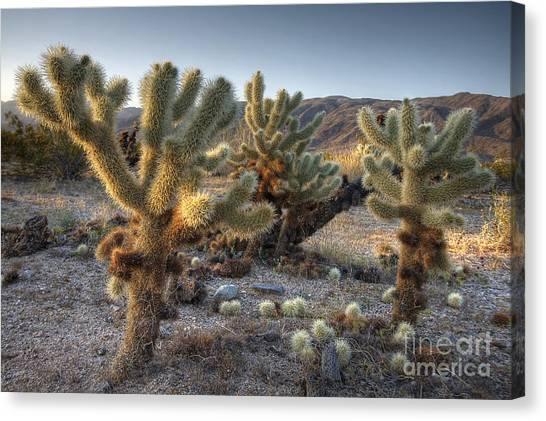 Cholla Cactus Canvas Print