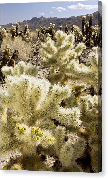 Cholla (cylindropuntia Bigelovii) Cactus Canvas Print by Science Photo Library