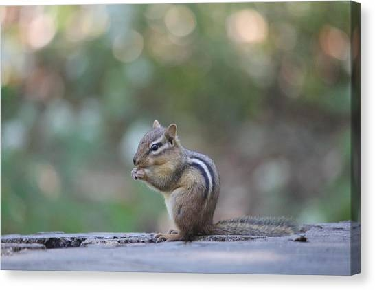 Chowing Chipmunk Canvas Print