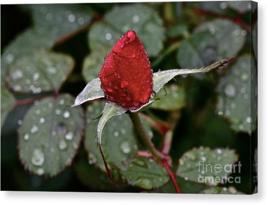 Christmas Bud Canvas Print