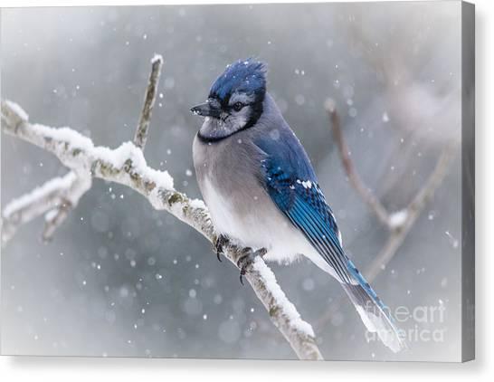 Christmas Card Bluejay Canvas Print